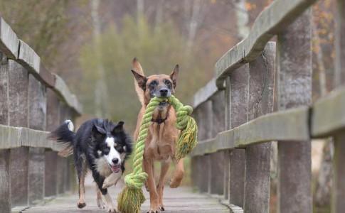 Entrenamiento de perros de pastoreo