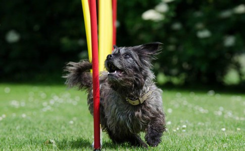 Entrenamiento de perros agility