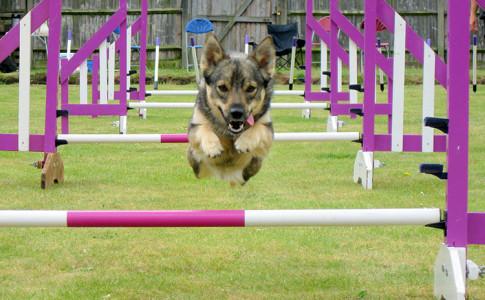 Entrenamiento para perros Agility