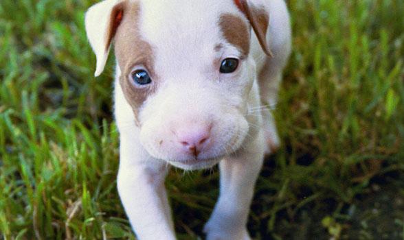 Cachorro de Pit Bull Terrier Americano