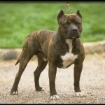 Pit Bull Terrier Americano de color atigrado