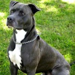 Pit Bull Terrier Americano de color azul