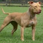 Pit Bull Terrier Americano características físicas