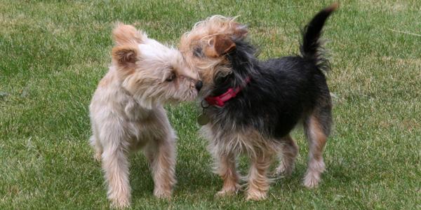 Apareamiento del perro