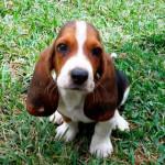 Cachorro de Sabueso Enano de 3 meses