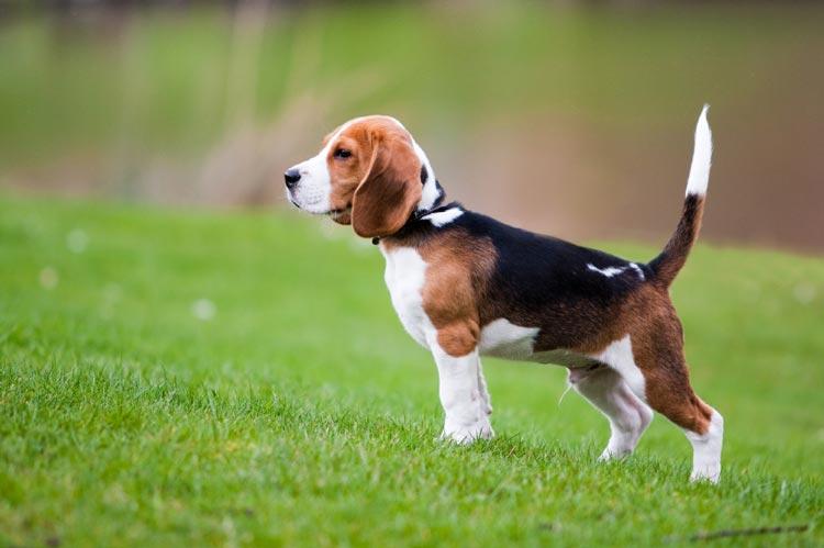 [Imagen: Beagle1.jpg]