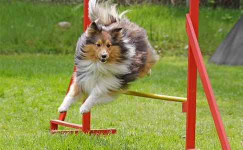 Agility para perros beneficios