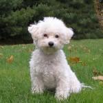 Cachorro de bichon frise de 4 meses