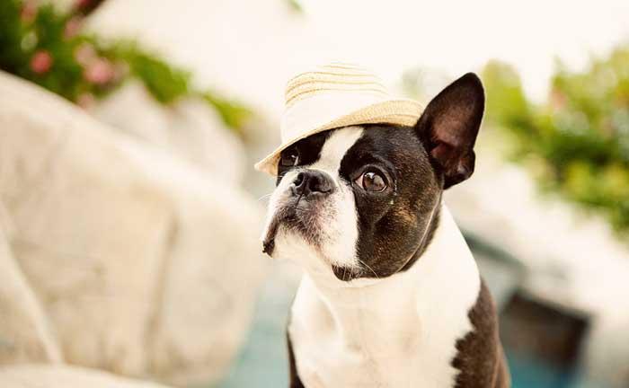 Boston Bull Terrier de color atigrado