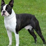 Ejercicio para un Boston Bull Terrier