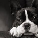 El Boston Bull Terrier es un perro con ojos saltones