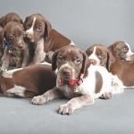 Cuidados del cachorro Braco alemán