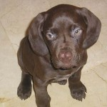 Cachorro 3 meses Braco alemán
