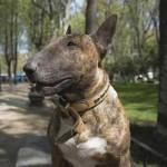 Perro bull terrier inglés de color atigrado