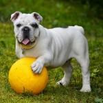 Bulldog vs Pit Bull Terrier Americano