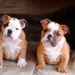 Cachorros de Bulldog de 4 meses