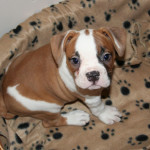 Cachorro Bulldog americano de un mes
