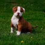 Cachorro de Bulldog Americano de dos meses