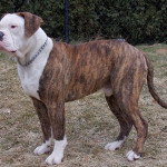 American Bulldog atigrado