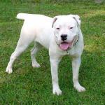 American Bulldog blanco
