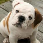 Cuidados del bebé Bulldog