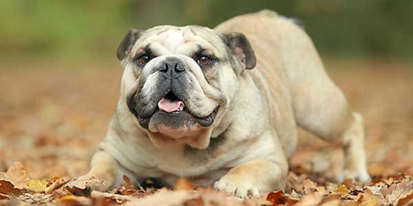 Perro Bulldog características físicas