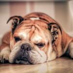 Color del perro Bulldog