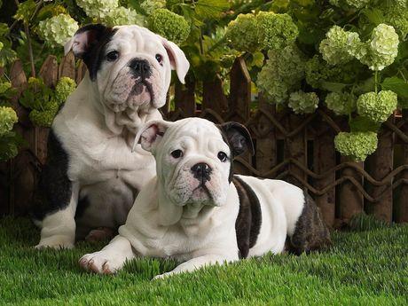 Perro de Bulldog cuidados