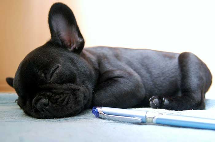 Cachorro de Bulldog francés de dos meses
