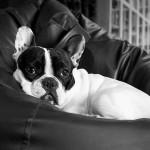 Perro de Bulldog Francés adulto