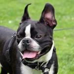 Perros Bulldog Francés cuidados