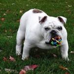 Bulldog Carácter
