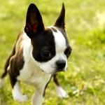 Bebé de Boston Bull Terrier
