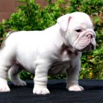 Bebé de color blanco de Bulldog Inglés