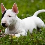 Bebé de Bull Terrier