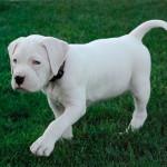 Bebé de Bulldog Americano blanco