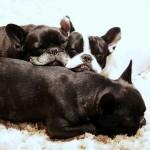 Bebé de Bulldog Francés de 6 meses
