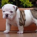 Bebé de Bulldog Inglés de 3 meses