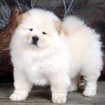 Chow Chow cachorro blanco