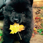 Cachorro negro de Chow Chow