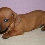 Cachorro de Perro Salchicha de 2 meses