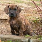 Dogo alemán cachorro atigrado