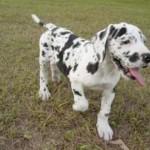 Cachorro de Dogo Alemán o Gran Danés Arlequín