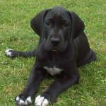 Gran Danés cachorro de color negro
