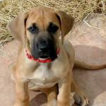Cachorro de Dogo Alemán o Gran Danés con 3 meses