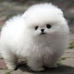 Cachorro de la raza Pomerania Toy Blanco