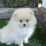 Cachorro de la raza Pomerania de 2 meses