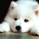 Perro Samoyedo de cachorro
