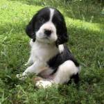 Bebé Springer Spaniel negro
