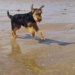 Airedale Terrier cachorro ejercicio